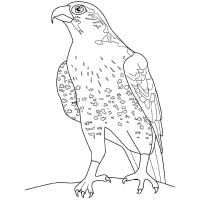 Falcon coloring pages