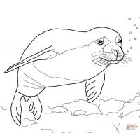 Fur seal coloring pages