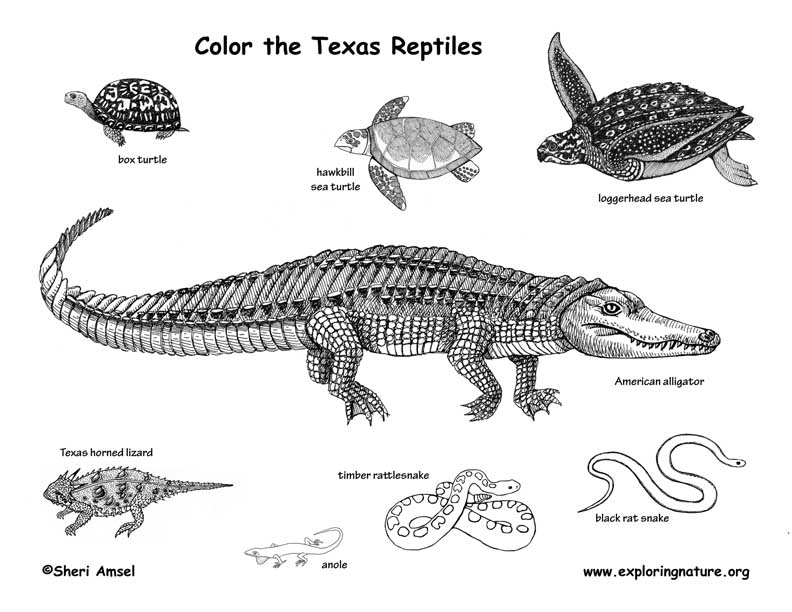 American Crocodile Coloring Page - Worksheet & Coloring Pages