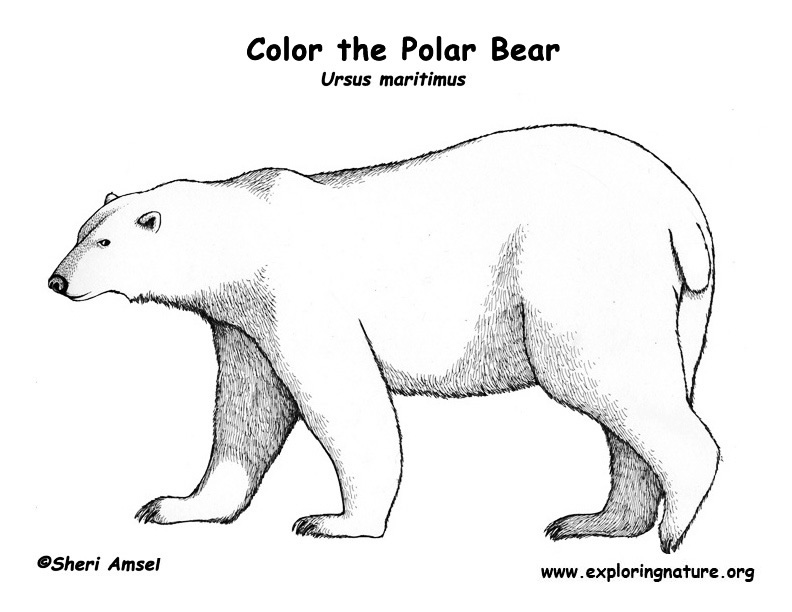 polar bear coloring pages - Polar Bear Coloring Pages