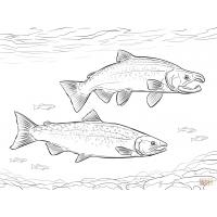 Pacific salmon coloring pages