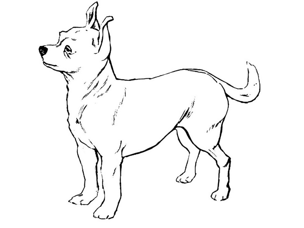 Chihuahua dog coloring pages download and print for free